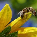 Cosa fare in caso di puntura d'ape